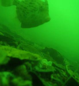若狭本郷・金丸渡船の海底は貝殻がいっぱい。
