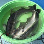 【今年も】やっぱり釣れた!谷井渡船さんで初釣りのハネ【打率10割】